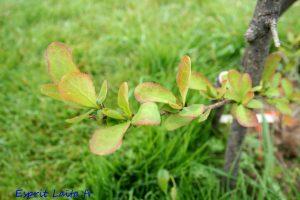 Pour le moment les feuilles sont tendres - Berberis Red Tears
