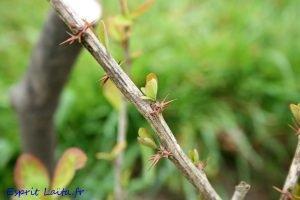 l'épine vinette - berberis red tears