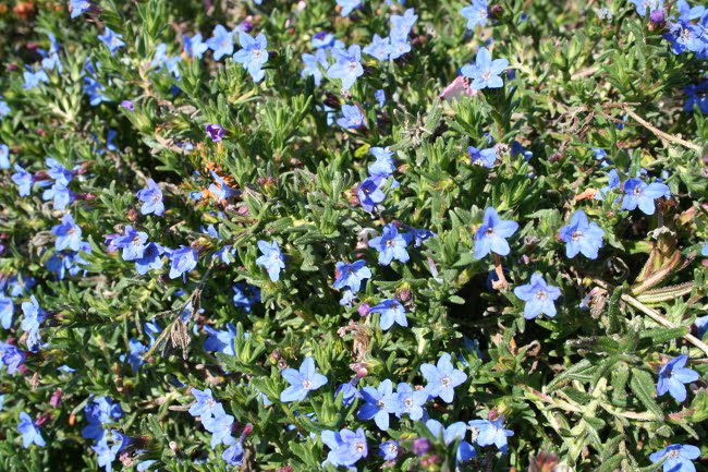 Lithodora - fleurs bleues