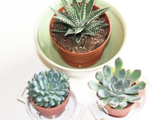 Arroser les plantes grasses - arossage des succulentes