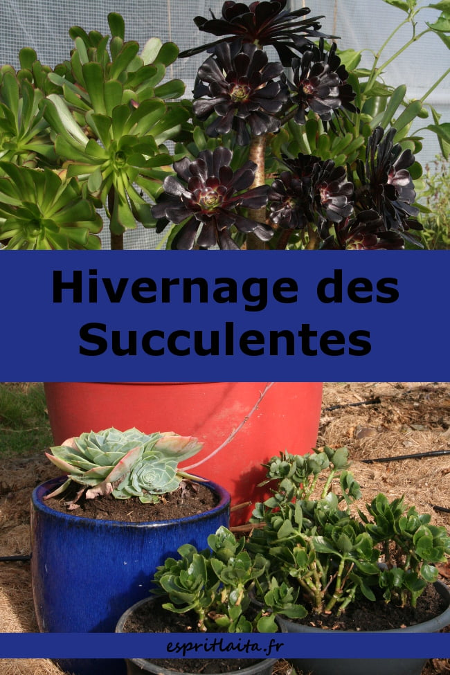 conserver les succulentes en hiver