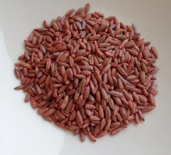 seigle - graines traitées