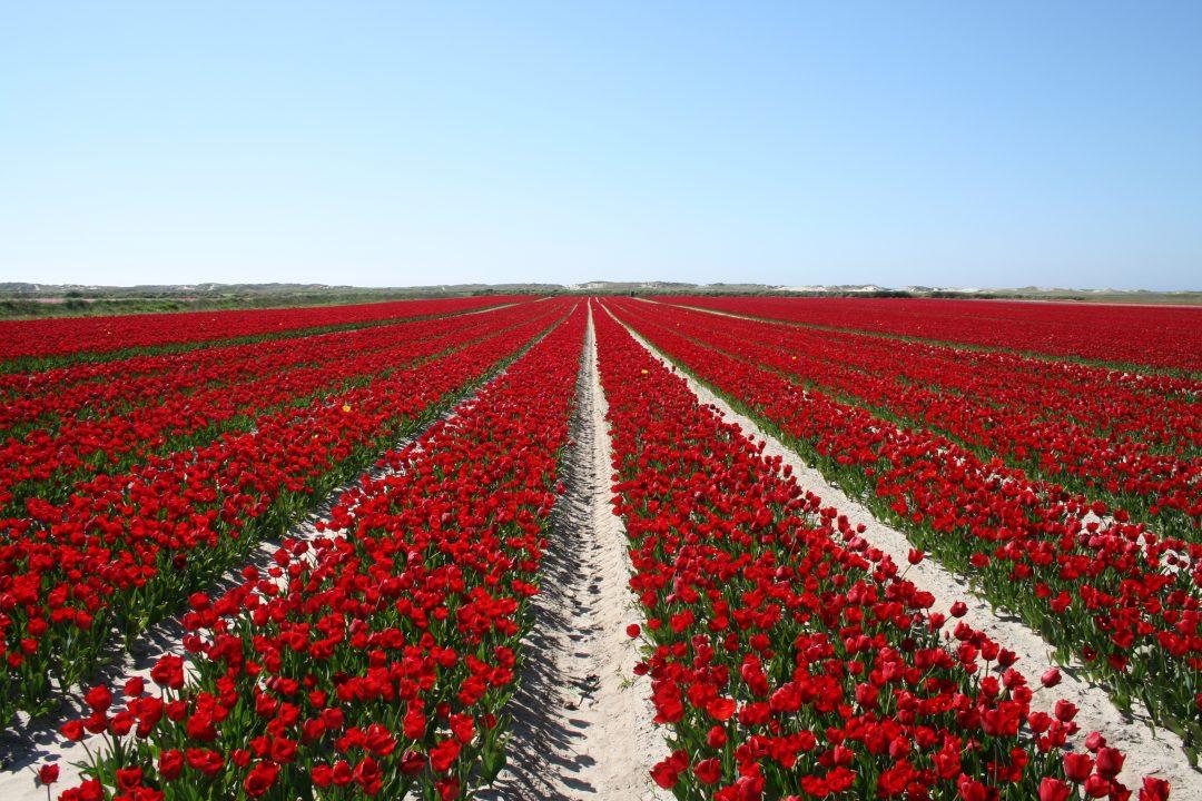 Tulipes rouges - La Torche