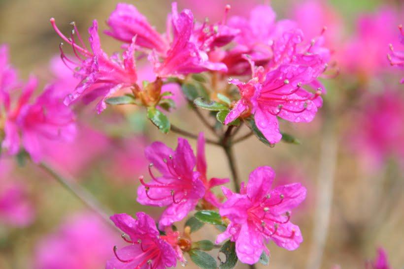 azalée rose vif à petites fleurs