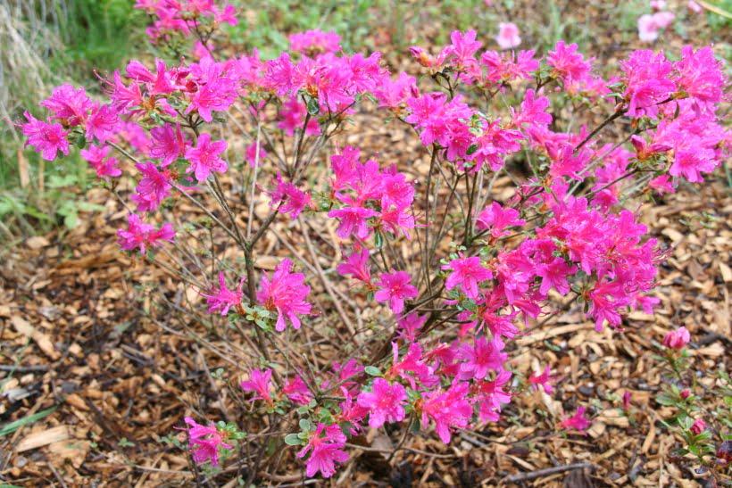 petite azalée rose vif 2