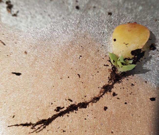 bouturage bouturer les succulentes et les plantes grasses