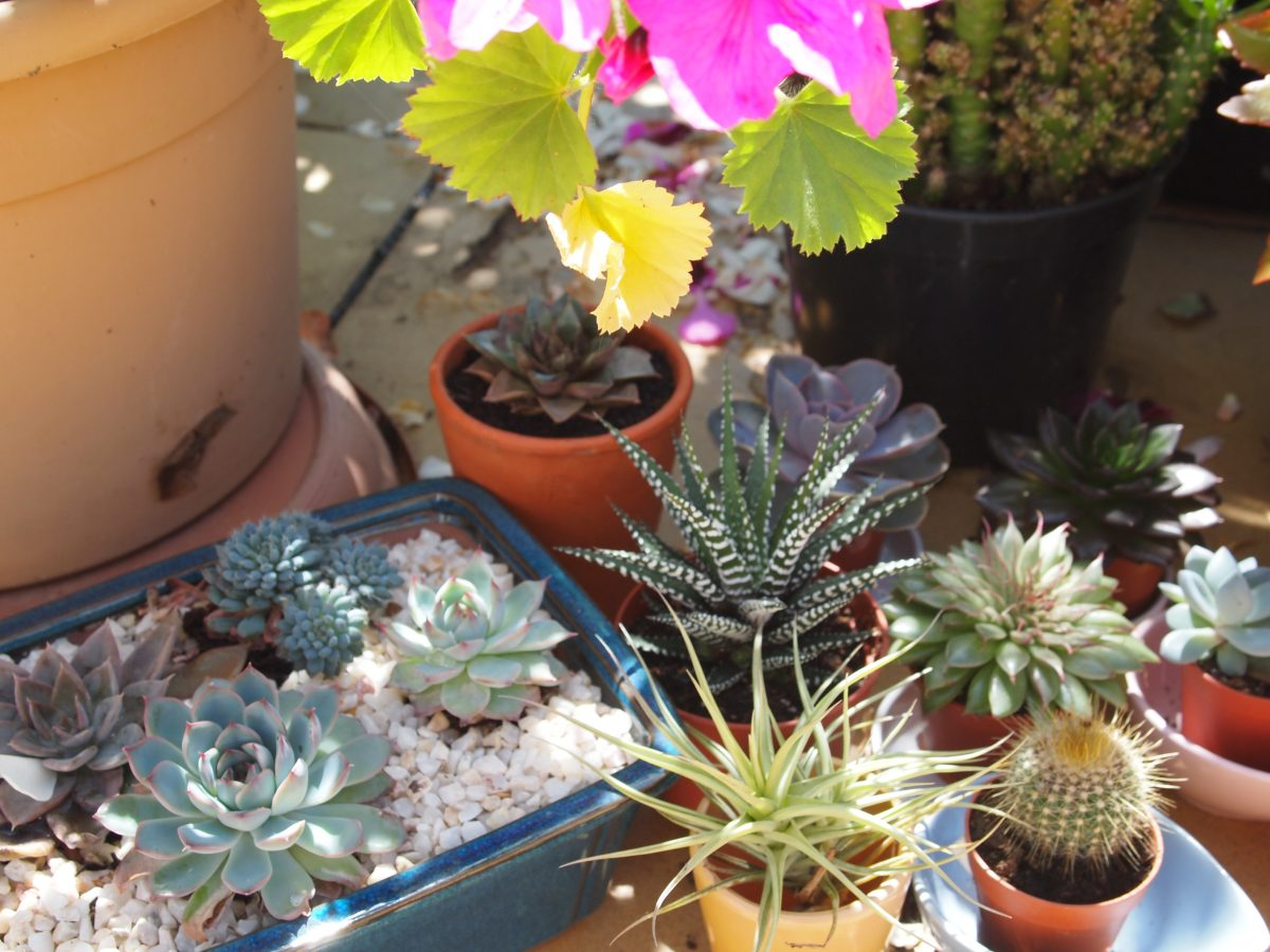 succulentes brûlées par le soleil
