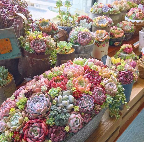 succulentes de couleurs