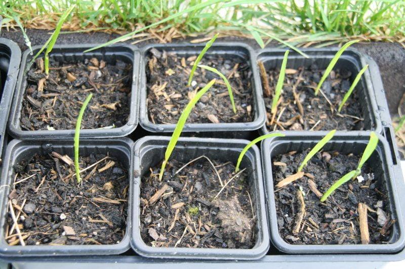 La culture du camassia - semis