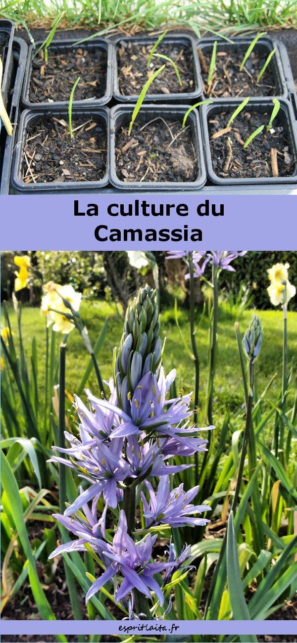 la culture du camassia