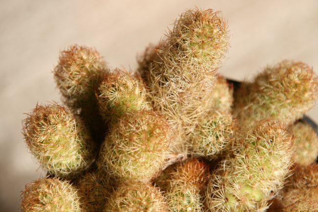 Cactus elongata mammillaria