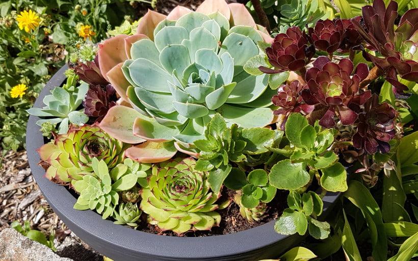 plantes grasses r aliser une composition de succulentes esprit la ta. Black Bedroom Furniture Sets. Home Design Ideas