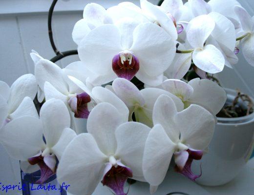 comment soigner une orchid e esprit la ta. Black Bedroom Furniture Sets. Home Design Ideas