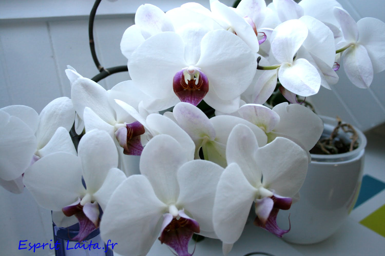 comment arroser l 39 orchid e phalaenopsis esprit la ta. Black Bedroom Furniture Sets. Home Design Ideas