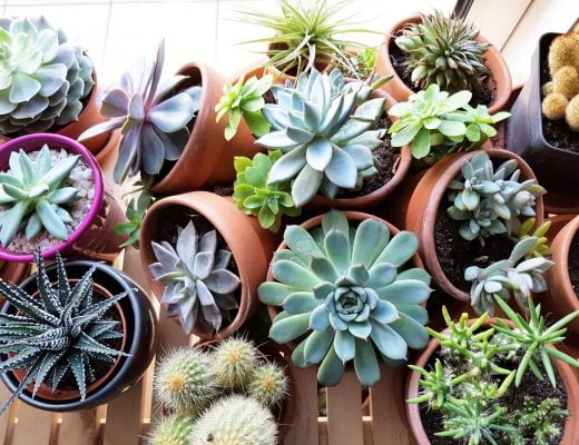 Les succulentes et les plantes grasses en hiver