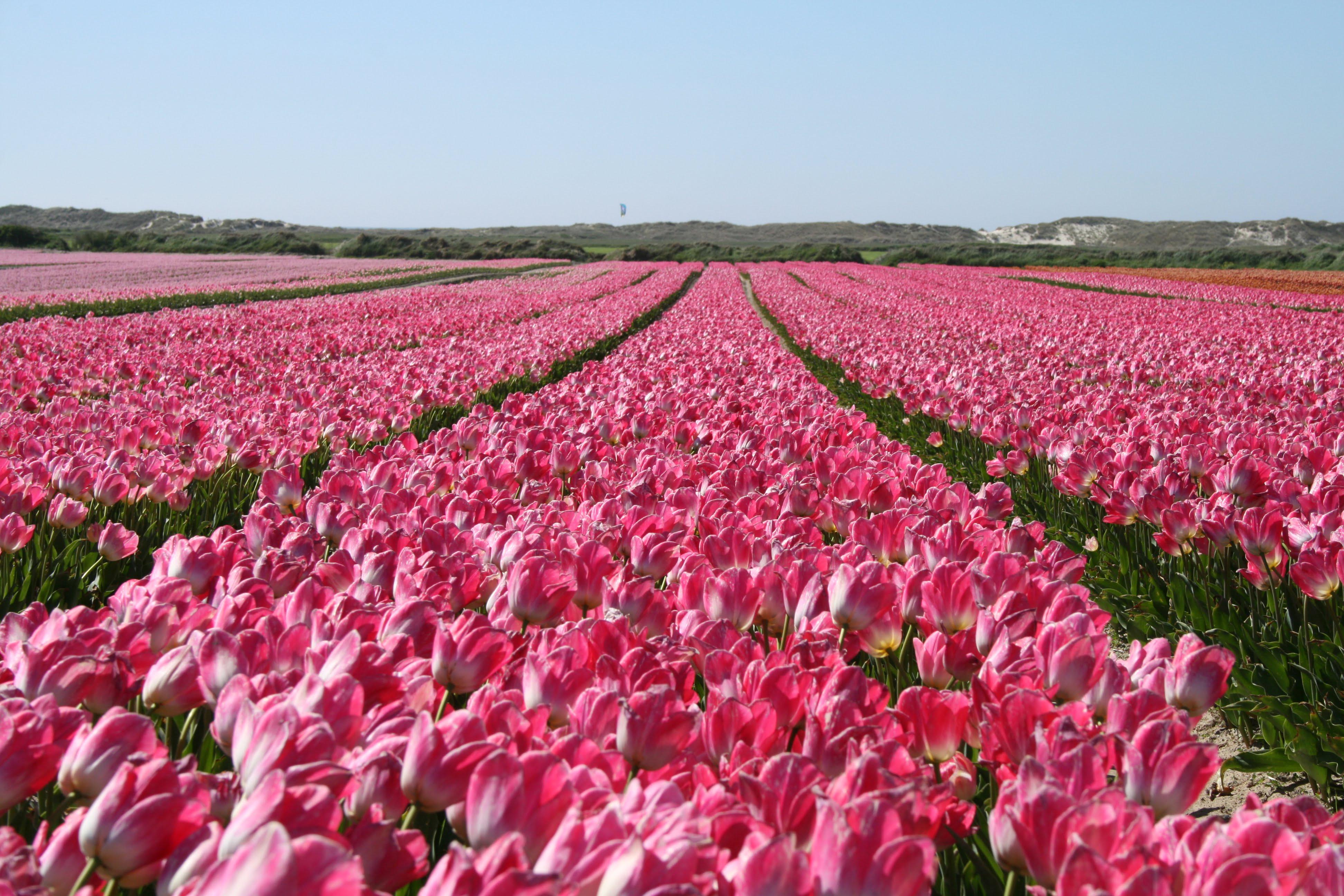 Champs de Tulipes fête des fleurs La Torche Bretagne