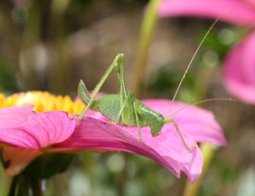 sauterelle verte sur dahlia
