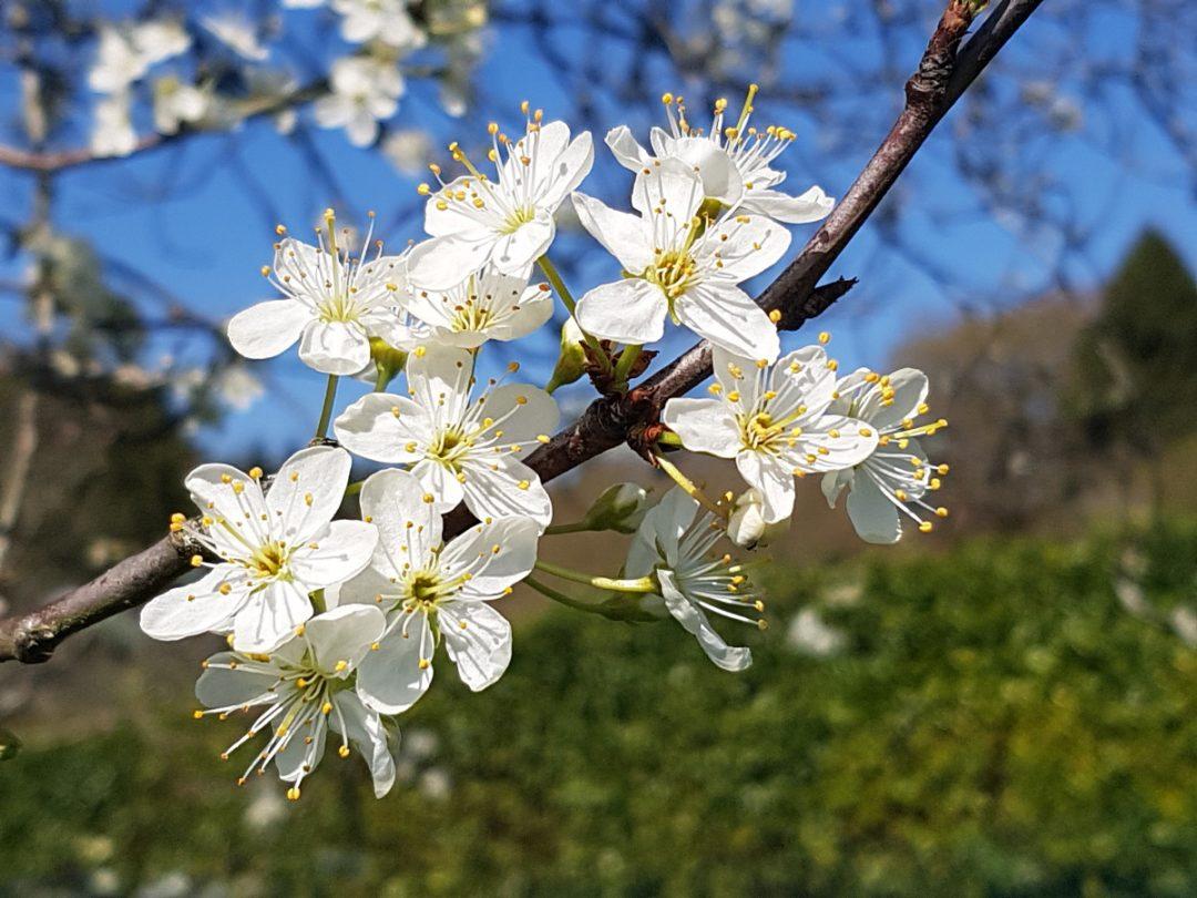 le jardin en Mars - fleurs de prunier