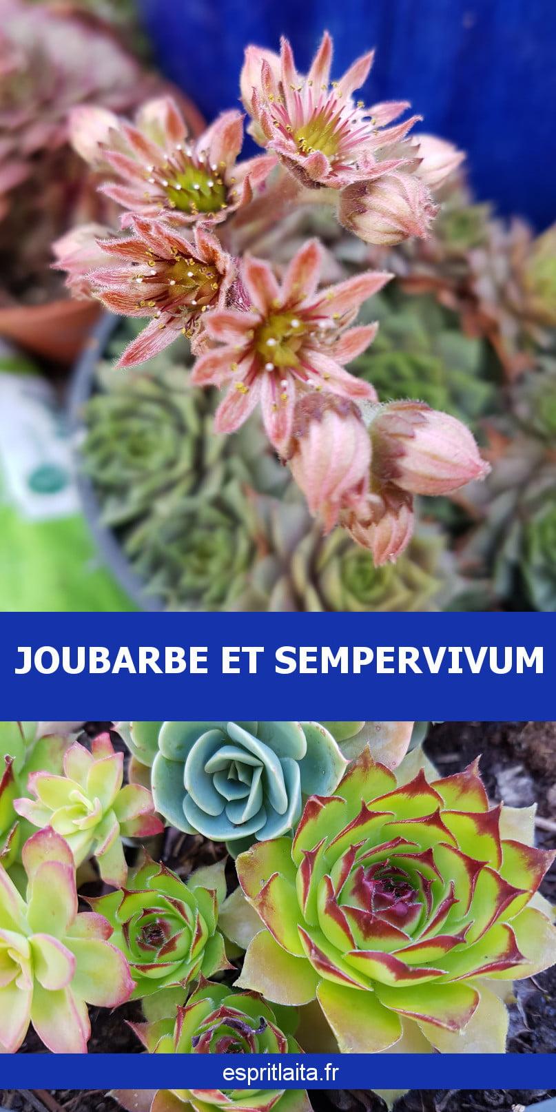 Cultiver et multiplier les joubarbes et les sempervivums